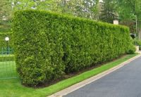 privacy hedges | Privacy Hedge | Landscape | Pinterest