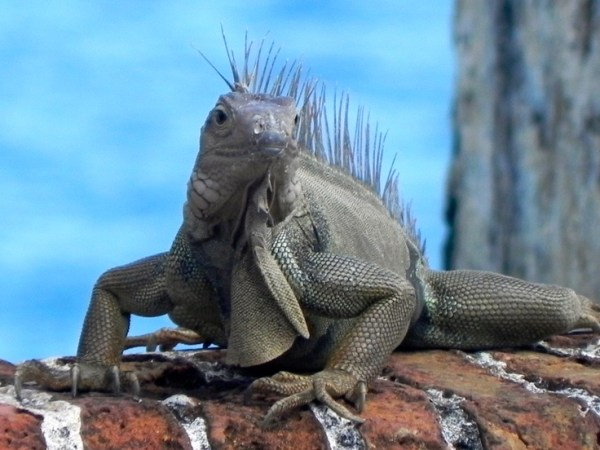 Puerto Rico Iguana Been ThereDone That Pinterest