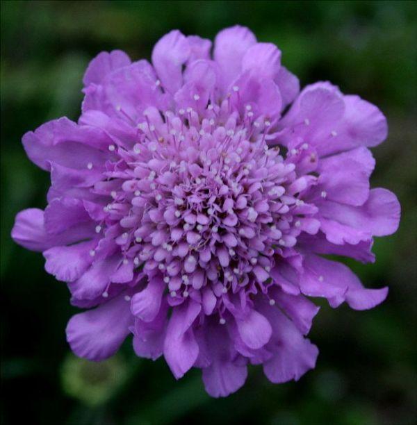 Scabiosa Flora Pinterest