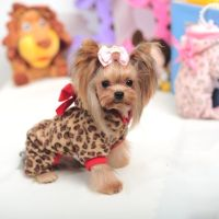 Yorkie Clothes Small Dog Clothes Yorkie Accessories Yorkie ...