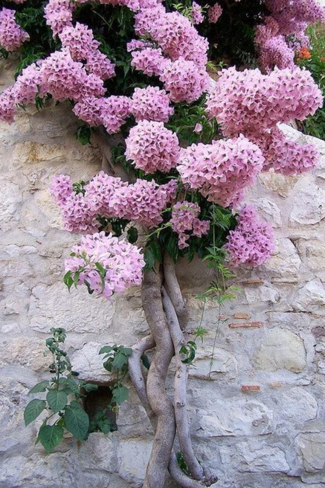 Beautiful Climbing Lilac Vine  Home Exterior  Pinterest