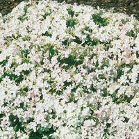 White Delight Carpet Phlox | garden | Pinterest