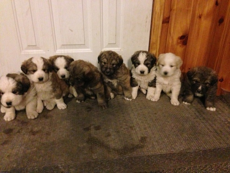 Bernese and Great Pyrenees mix puppies Mammals Pinterest