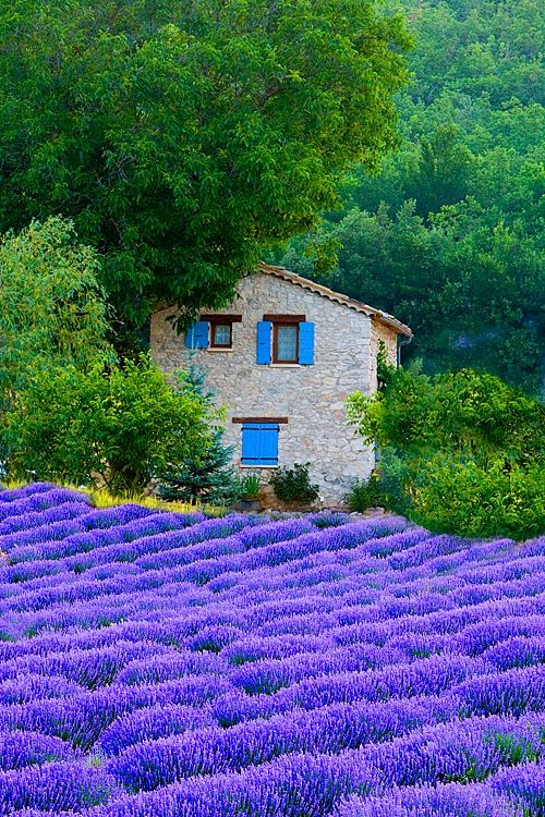 Fields of lavender | Provence