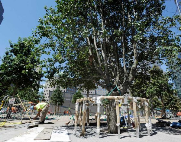 Ground Zero Sycamore Tree Replacement