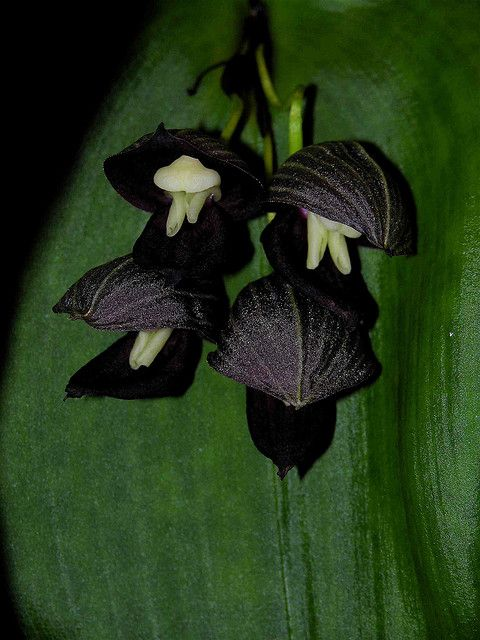 Pleurothallis teagueii by valenzino, via Flickr