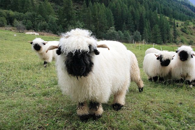 Valais Blacknose Sheep by Niels Kuppens: Too cute! Walliser Schwarznasenschaf is a breed of domestic sheep originating in the Valais region of Switzerland. http://en.wikipedia.org/wiki/Valais_Blacknose_(sheep #Sheep #Valais_Blacknose