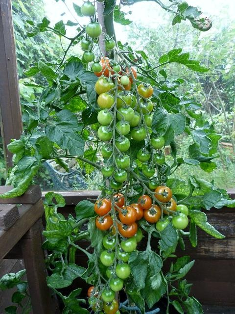 Image result for Gardeners Delight Tomato Plants