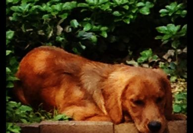 Ideas About Red Golden Retrievers On Pinterest