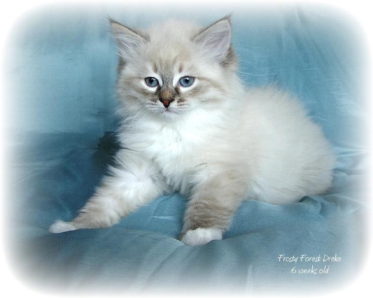 Siberian hypoallergenic cat Cats Pinterest