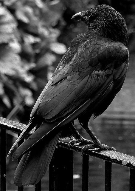 Art Raven the-crane-wife