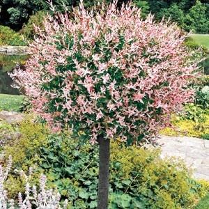 dwarf ornamental trees - bing