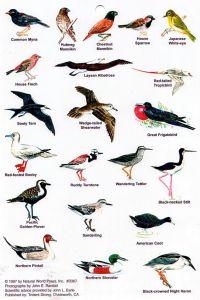 Hawaii Bird Guide Images