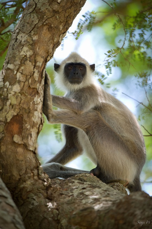 Monkey Sri Kingdom Lanka