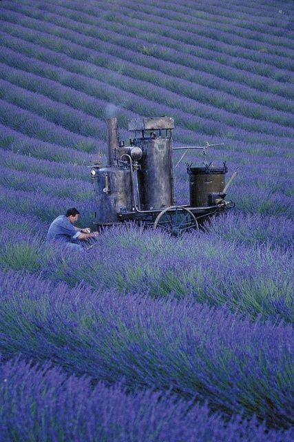 Distilling Lavender:   LOccitane en Provence