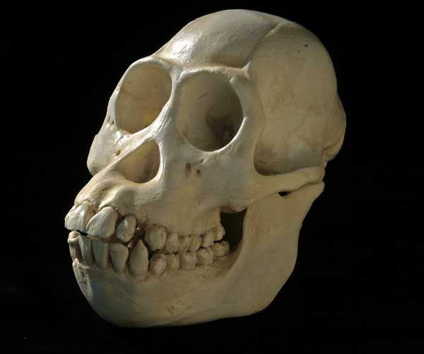 skull borneo female orang ...Pongo pygmaeus pygmaeus