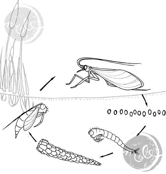 Caddisfly Larvae Diagram