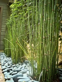 Backyard bamboo for privacy | Ideas For My Yard | Pinterest