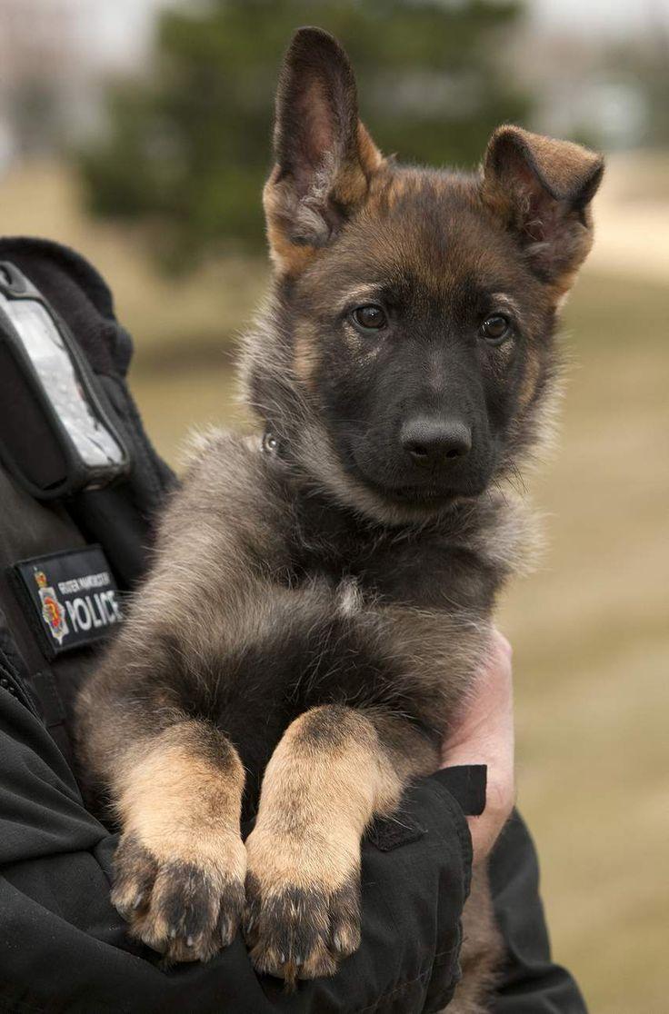 manchester police dog Pinterest
