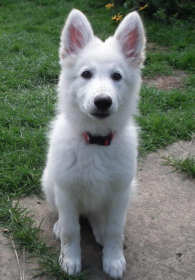 White German Shepherd Puppy. Adorable Animals Pinterest