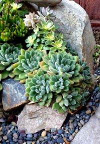 Succulent Border Rock Garden | Groundcovers & Rock Gardens ...