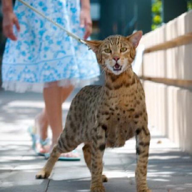 Ashera Exotic house cat