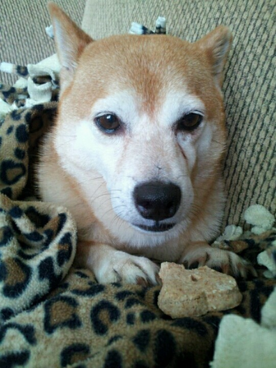 "Shiba inu Our latest rescue dog""patty"" she is five & a"