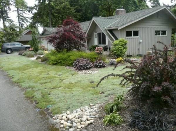 creeping thyme lawn backyard