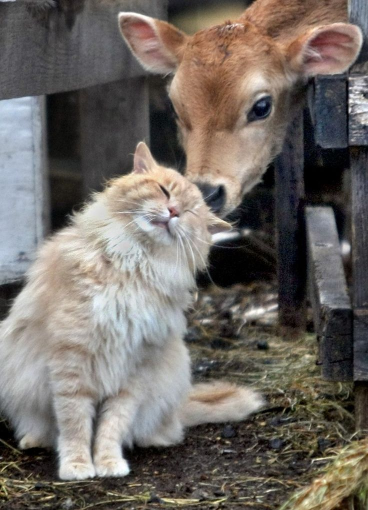No barn is complete without a few mousers!  This one seems to have made a bovine buddy!