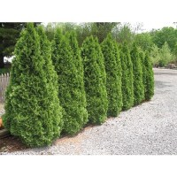 good privacy hedge $6.98 Lowes | Gardening and plants ...