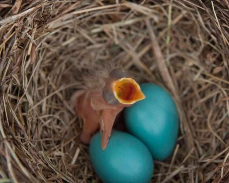 baby birds hatching 的圖片結果