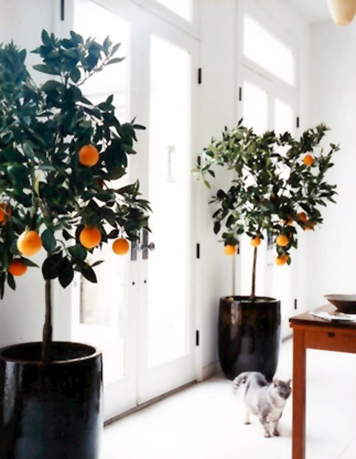 DIY: Potted Indoor Citrus Trees Gardenista