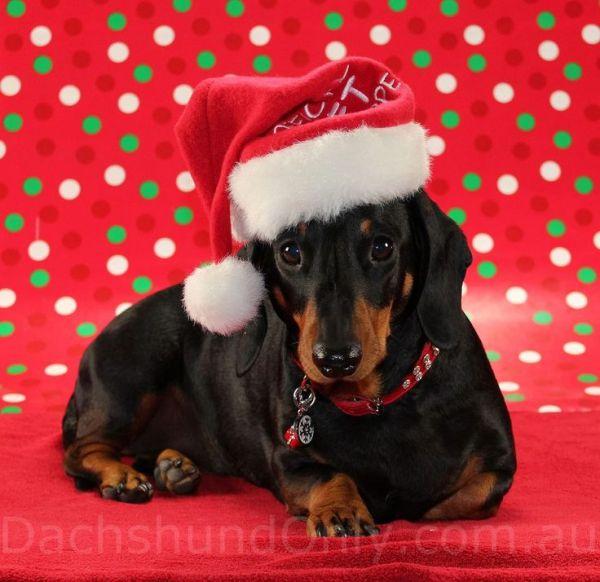 christmas dachshund. dachshunds