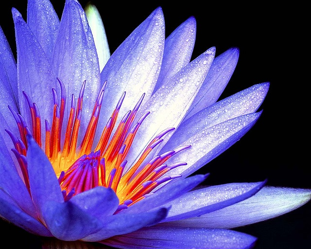 Meaning of purple lotus flower choice image flower decoration ideas meaning of purple lotus flower choice image flower decoration ideas meaning of purple lotus flower images mightylinksfo Choice Image