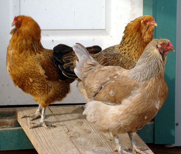 Buff Ameraucana Chicken Colors