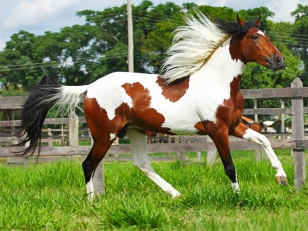 Another beautiful tri colored horse Hopefully my future