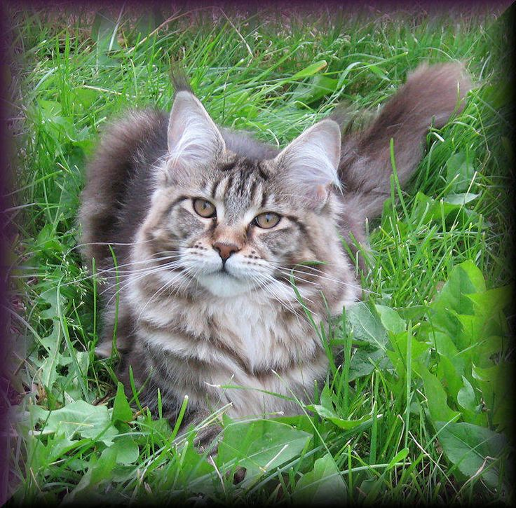 Pin by Anne on Maine Coon Cats Pinterest