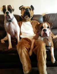 Happy Halloween | Boxer dogs | Pinterest