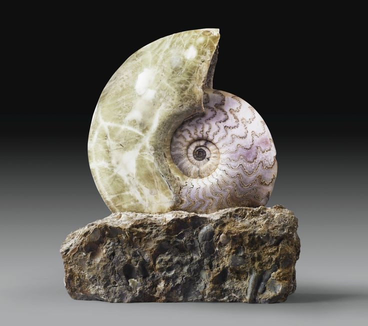 Ammonite Eparietites, Scunthorpe, Bas Jurassique-North Lincolnshire, Angleterre | Lot | Sotheby's