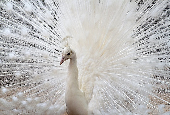 White Peacock by Valentina Gatewood