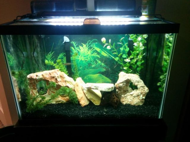 Stocking options. 10 Gallon Tank - | Aquarium Stocking Forum |