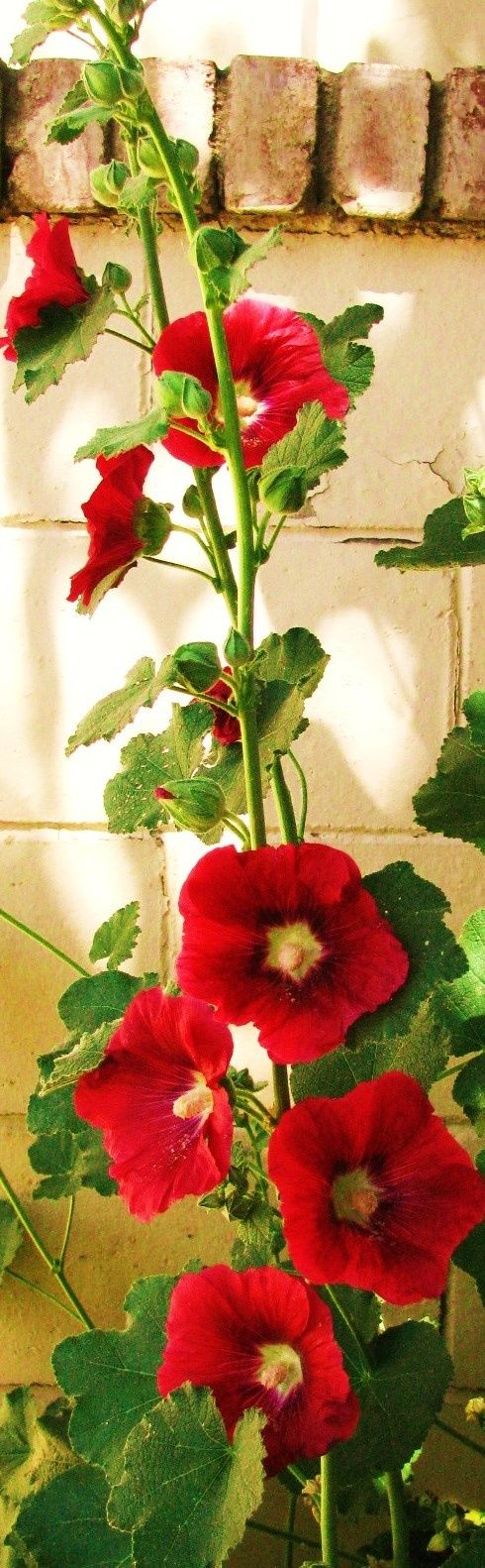 Hollyhocks - by Delightfully Manic