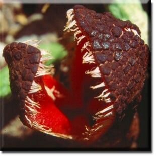 Hydnora Africana _ Carnivorous Plant