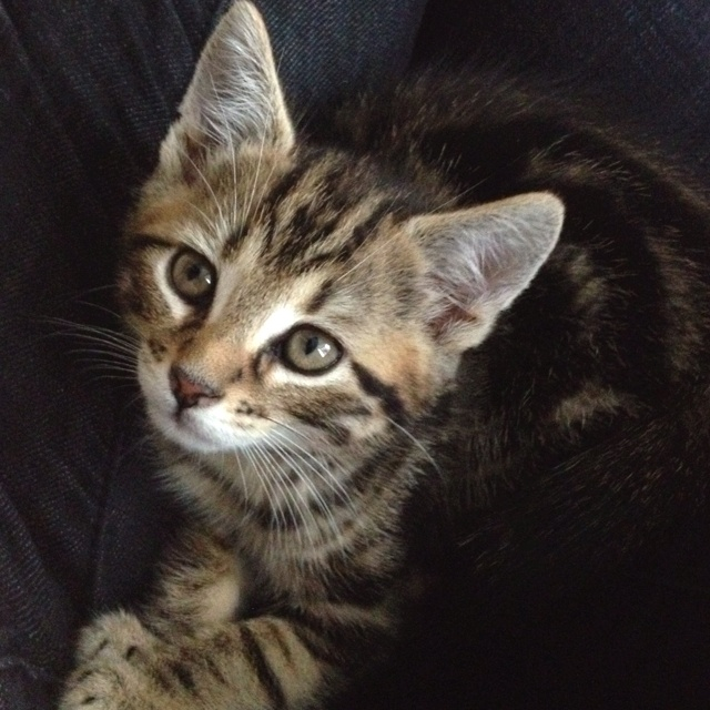 Maine coon Bengal mix! My new kitten best of both worlds
