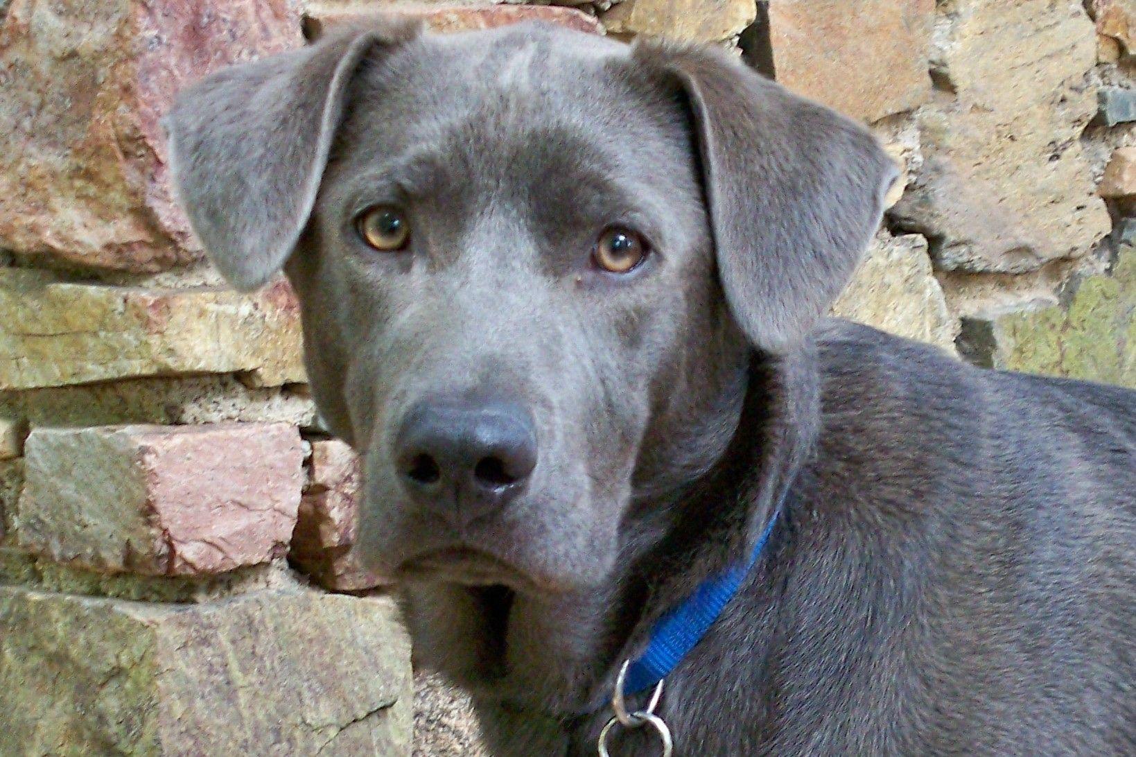 Texas Blue Lacy Rescue Rescue Organizations Pinterest