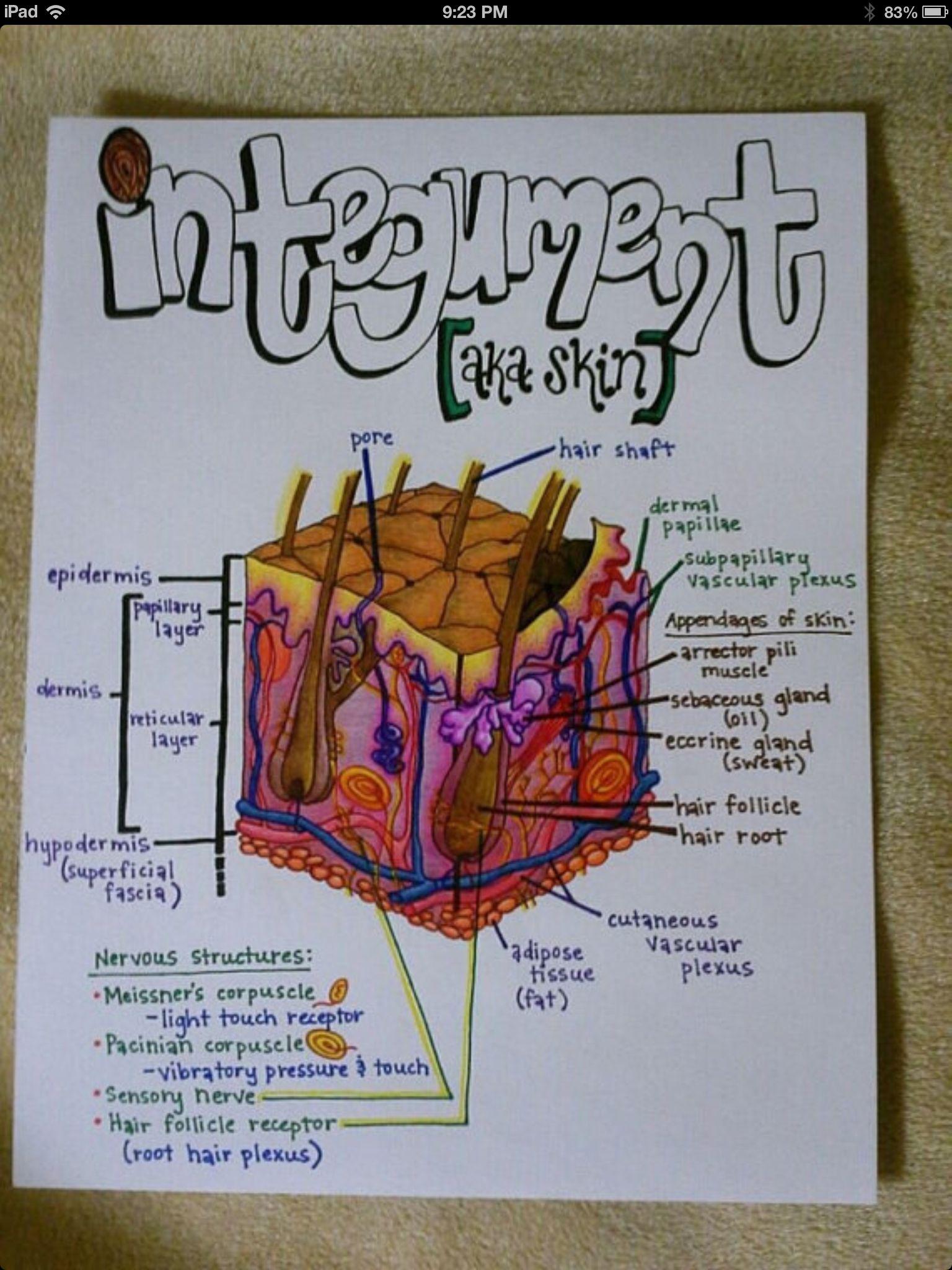 integumentary system diagram labeled 2006 honda civic ignition wiring skin layers bone elsavadorla