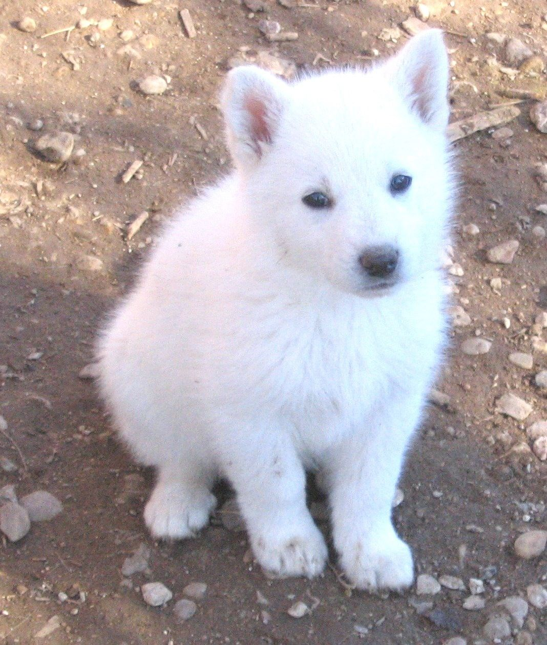 White German Shepherd Dogs Pinterest