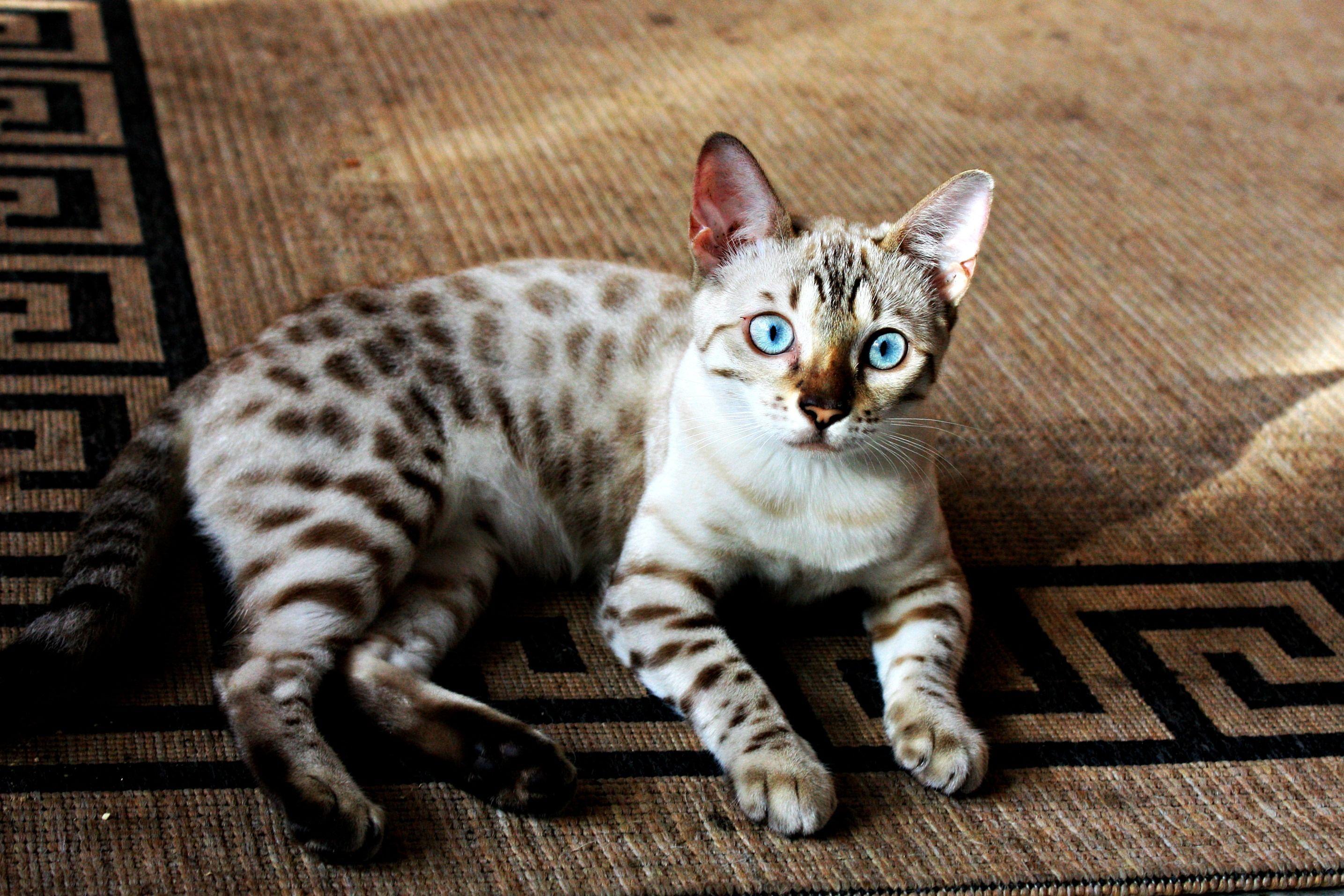 Bengal Kitty... Snow Bengal Bengal Cat Pinterest