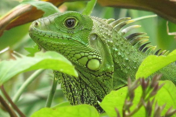 Green Iguana took pic in Puerto Rico Herping Pinterest