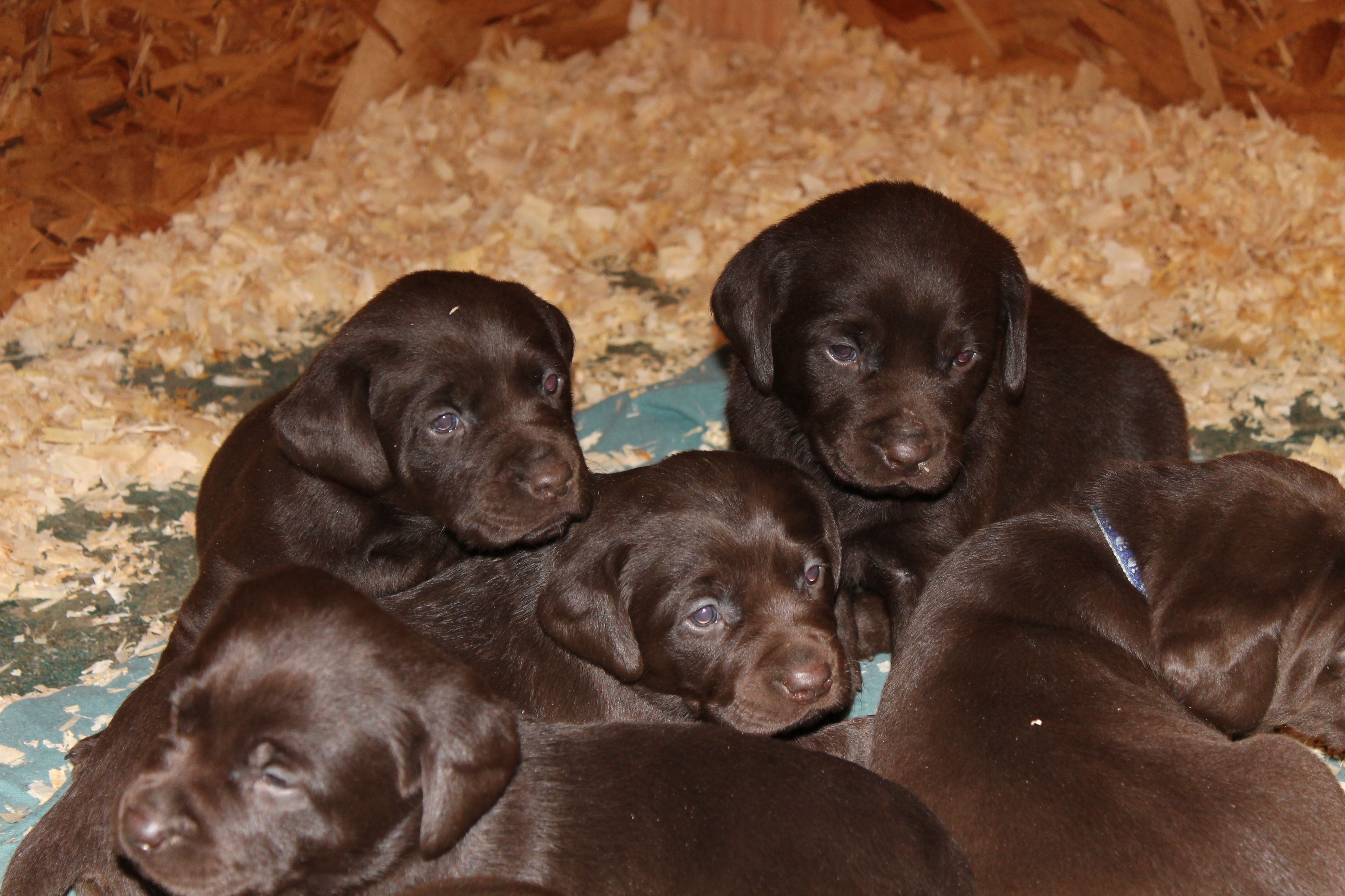 Chocolate Lab Puppies! Too Cute Pinterest
